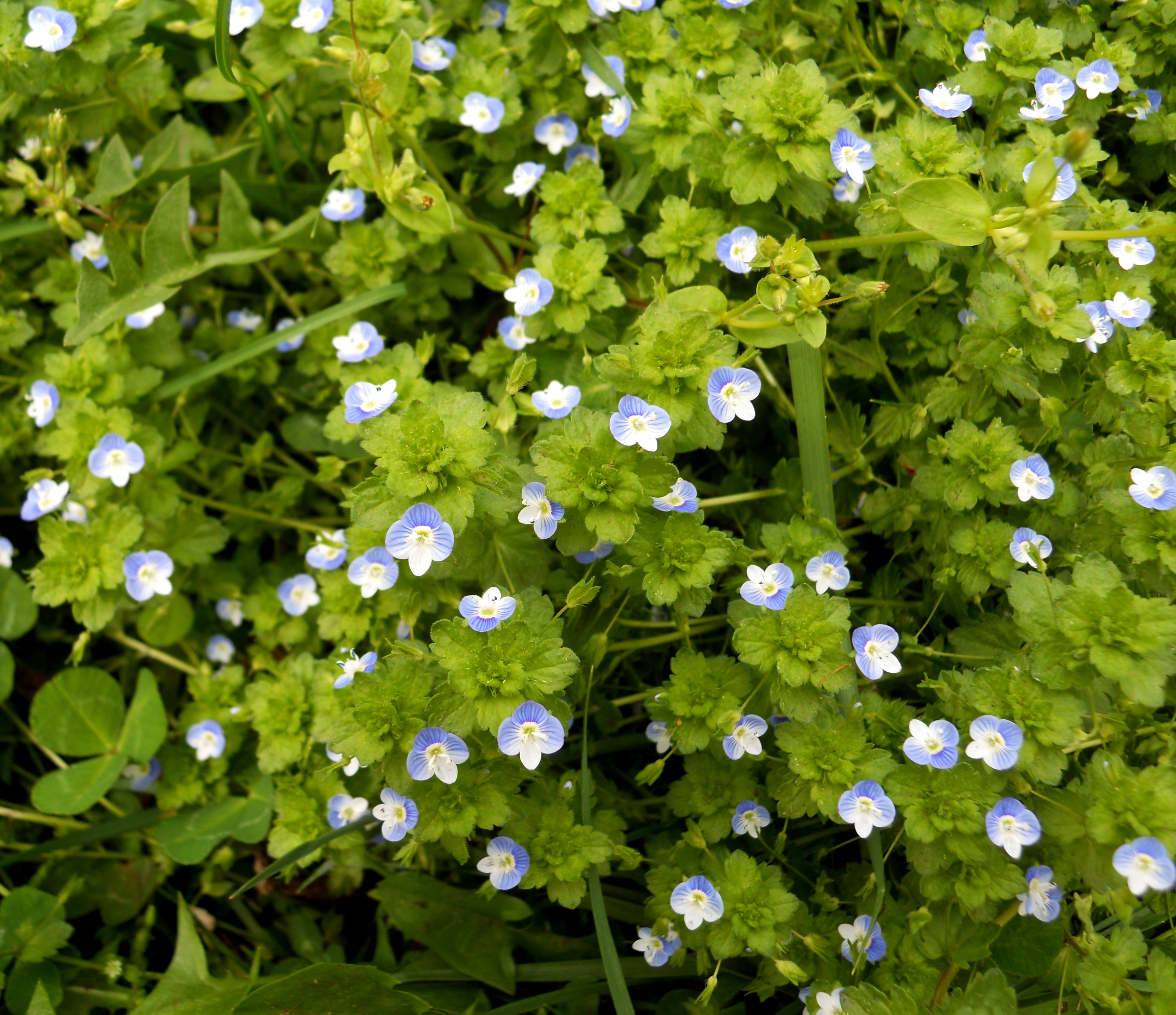 News events genesis turfgrass corn speedwell is a winter annual ie emerges from seed in the autumn and dies in summer and has flowers and leaves similar to slender speedwell mightylinksfo
