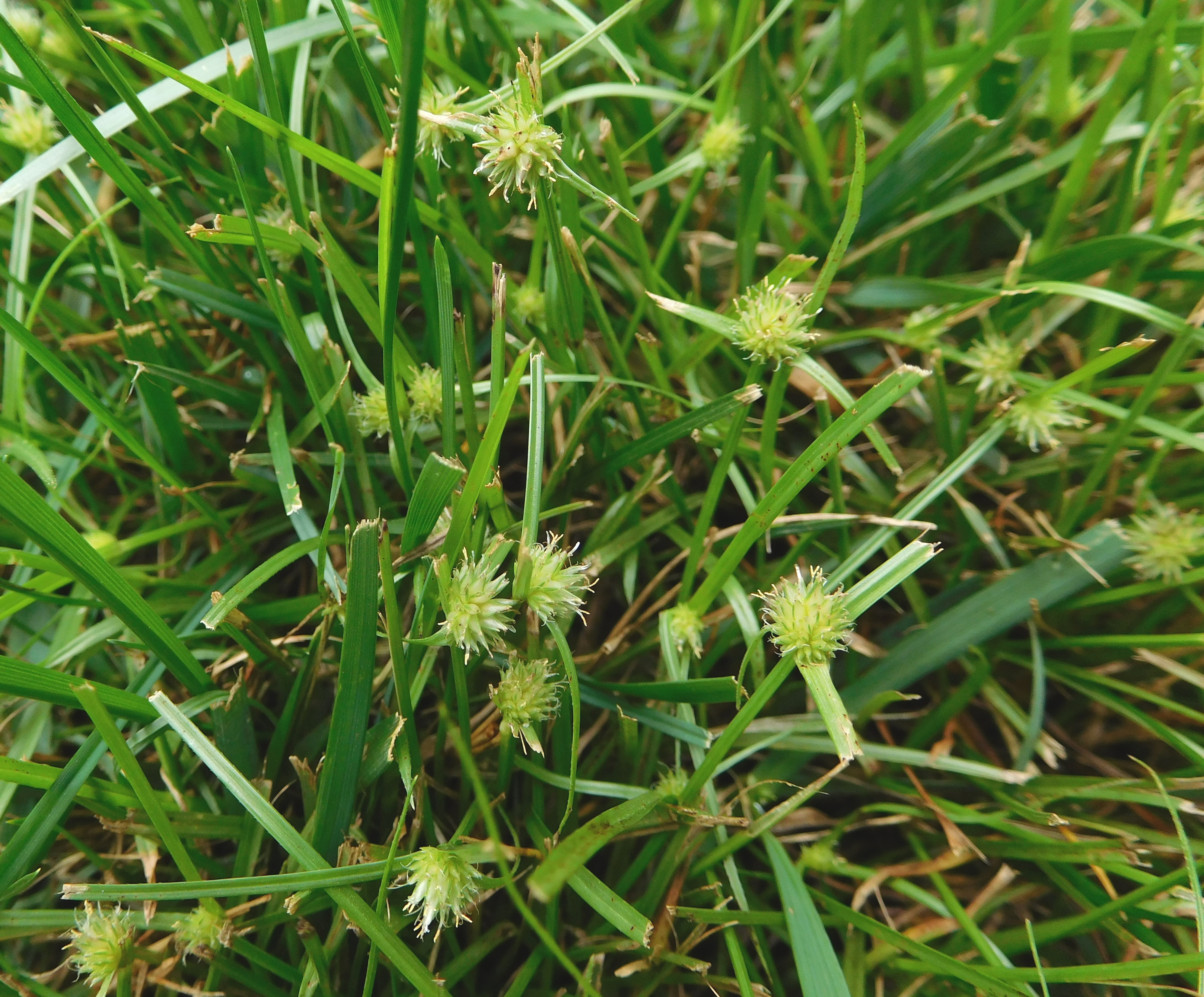 How to get rid of nut grass - Kyllinga Seedheads Develop In Globe Like Clusters Initially Are Yellow Green And Then Turn Brown Autumn Frosts Kill Leaves But Kyllinga Plants Survive